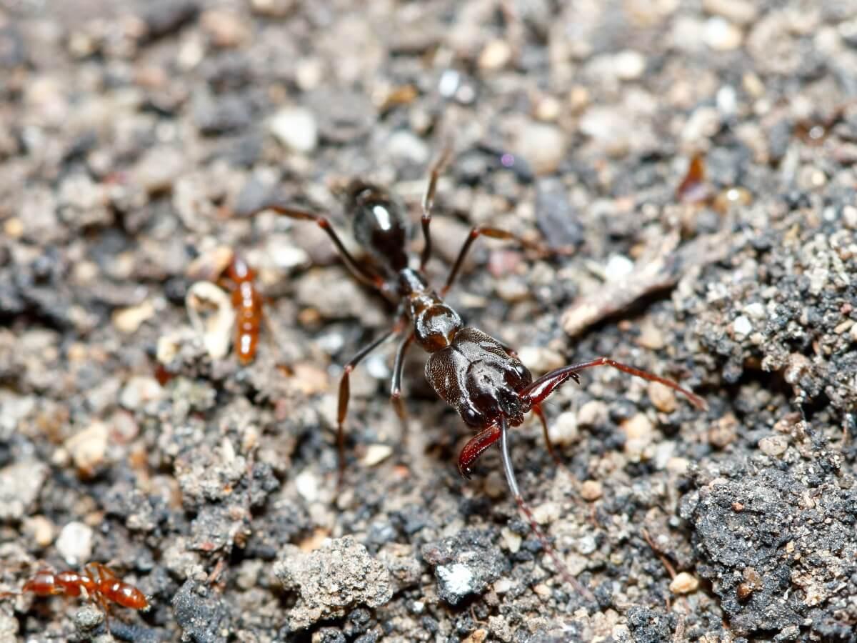 An ant Odontomachus monticola.