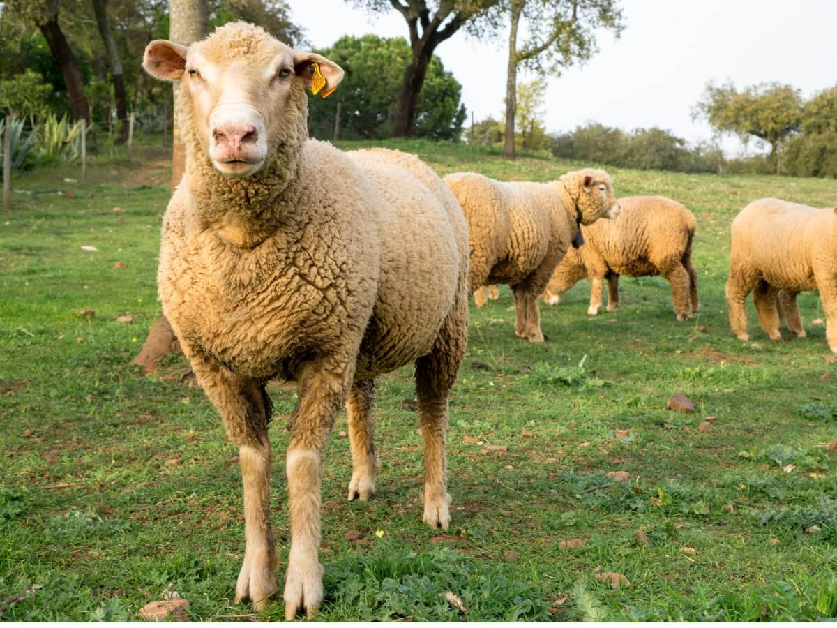 ¿Sabes cómo es el comportamiento de las ovejas?