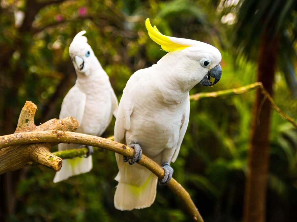 A pair of white cockatoos.