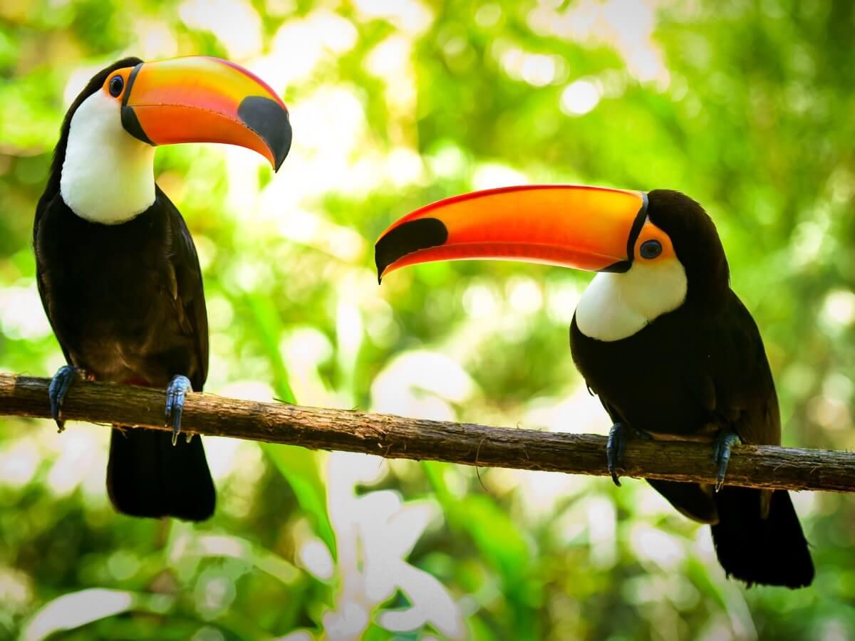 A couple of toucans.