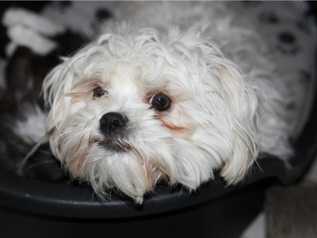 Un perro bolonka mira a cámara.