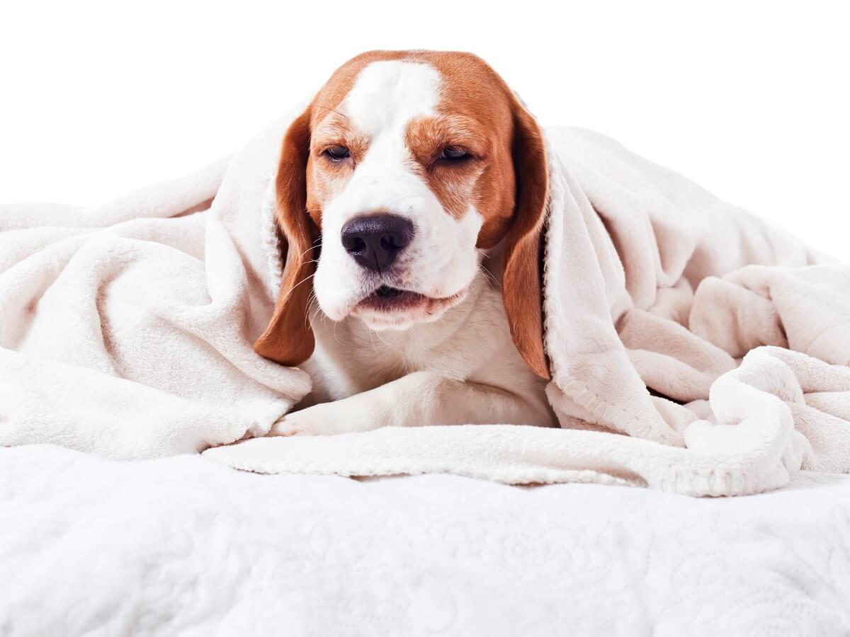 Un chien sous une couverture.