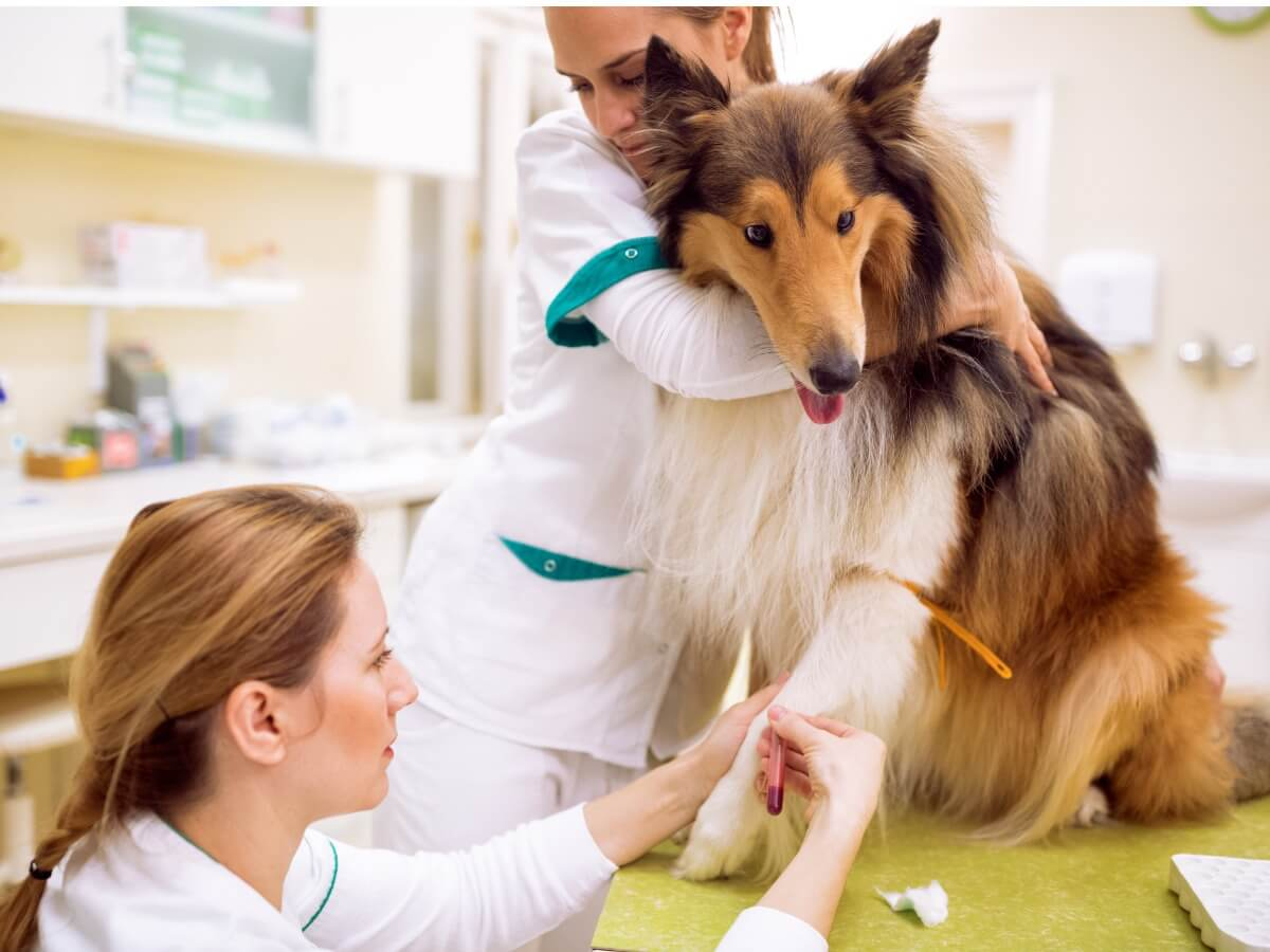 Un chien malade chez le vétérinaire.