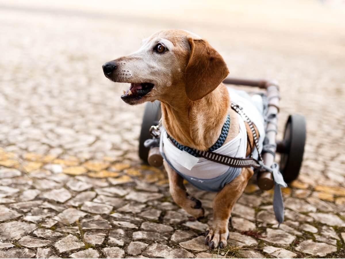 Un chien en fauteuil roulant porte ses orthèses.