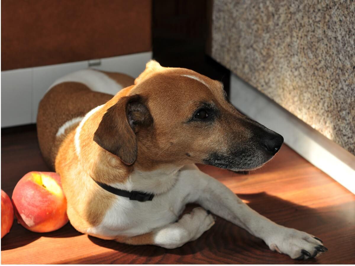 A dog eats a peach.