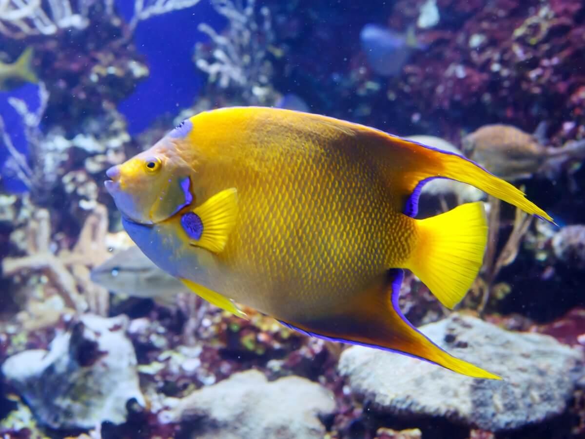 En gul dronning engelfisk.