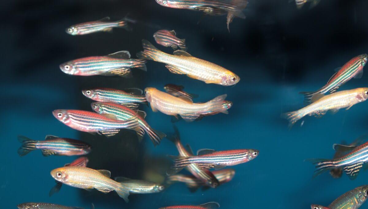 Des poissons-zèbres.