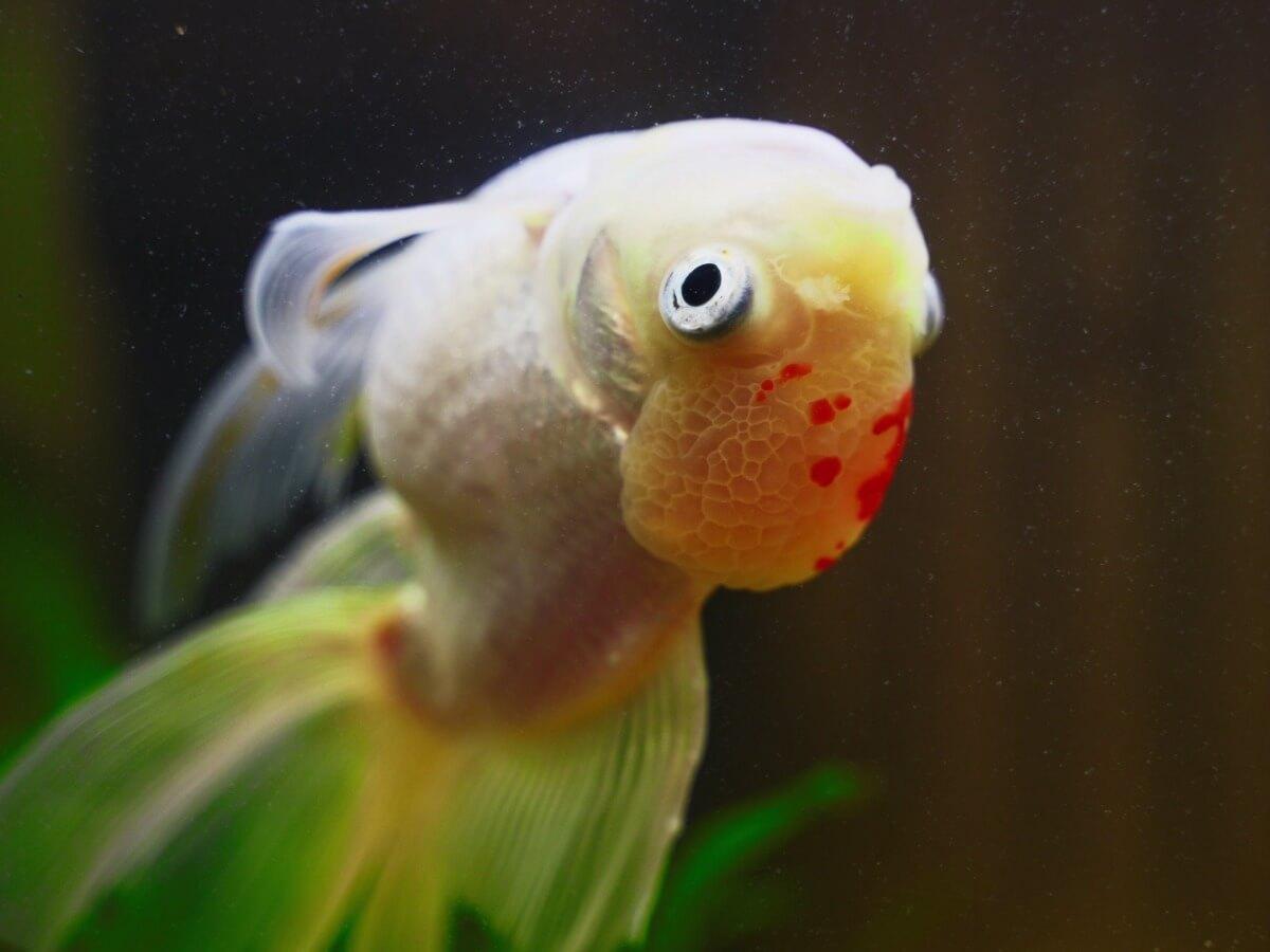 Un pesce malato nuota a testa in giù.