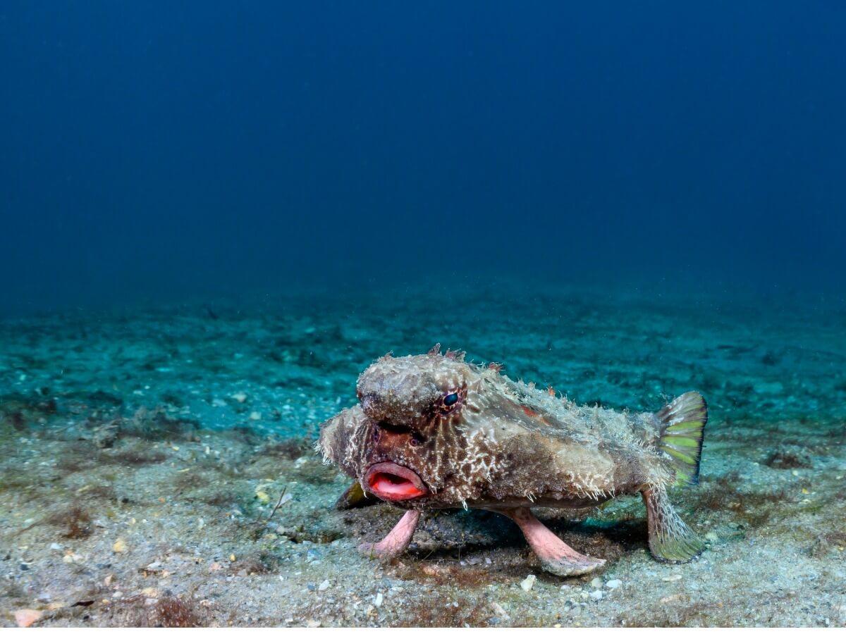 Un pesce pipistrello.