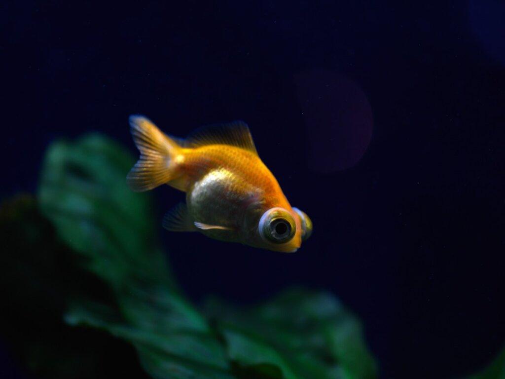 Exoftalmia en peces: todo lo que debes saber
