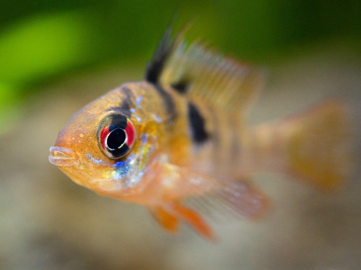 Zoomez sur un poisson ramirezi.