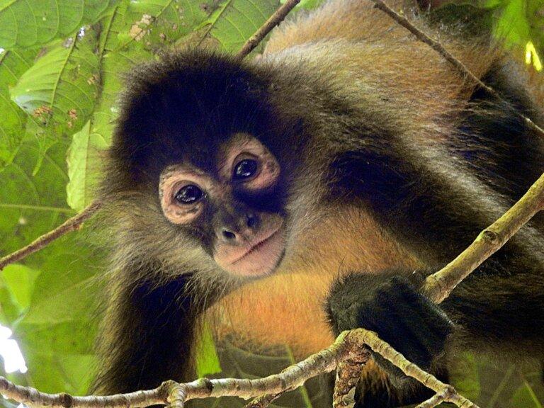 Los 25 primates en mayor peligro de extinción