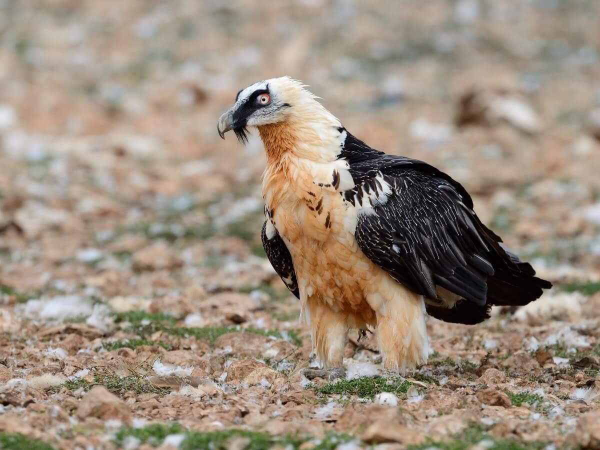Een van de met uitsterven bedreigde dieren in Spanje