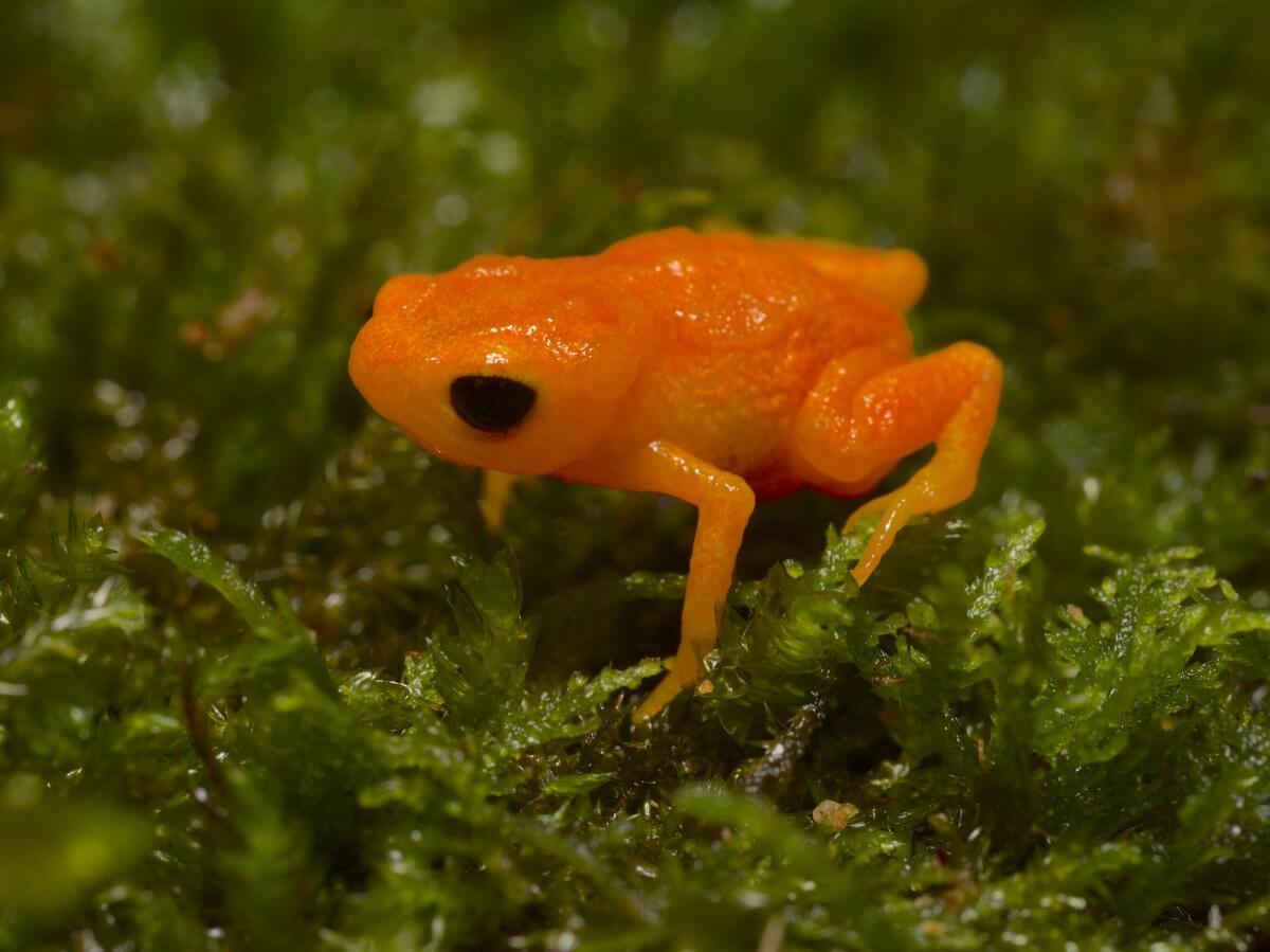 Rana botón de oro: hábitat y características