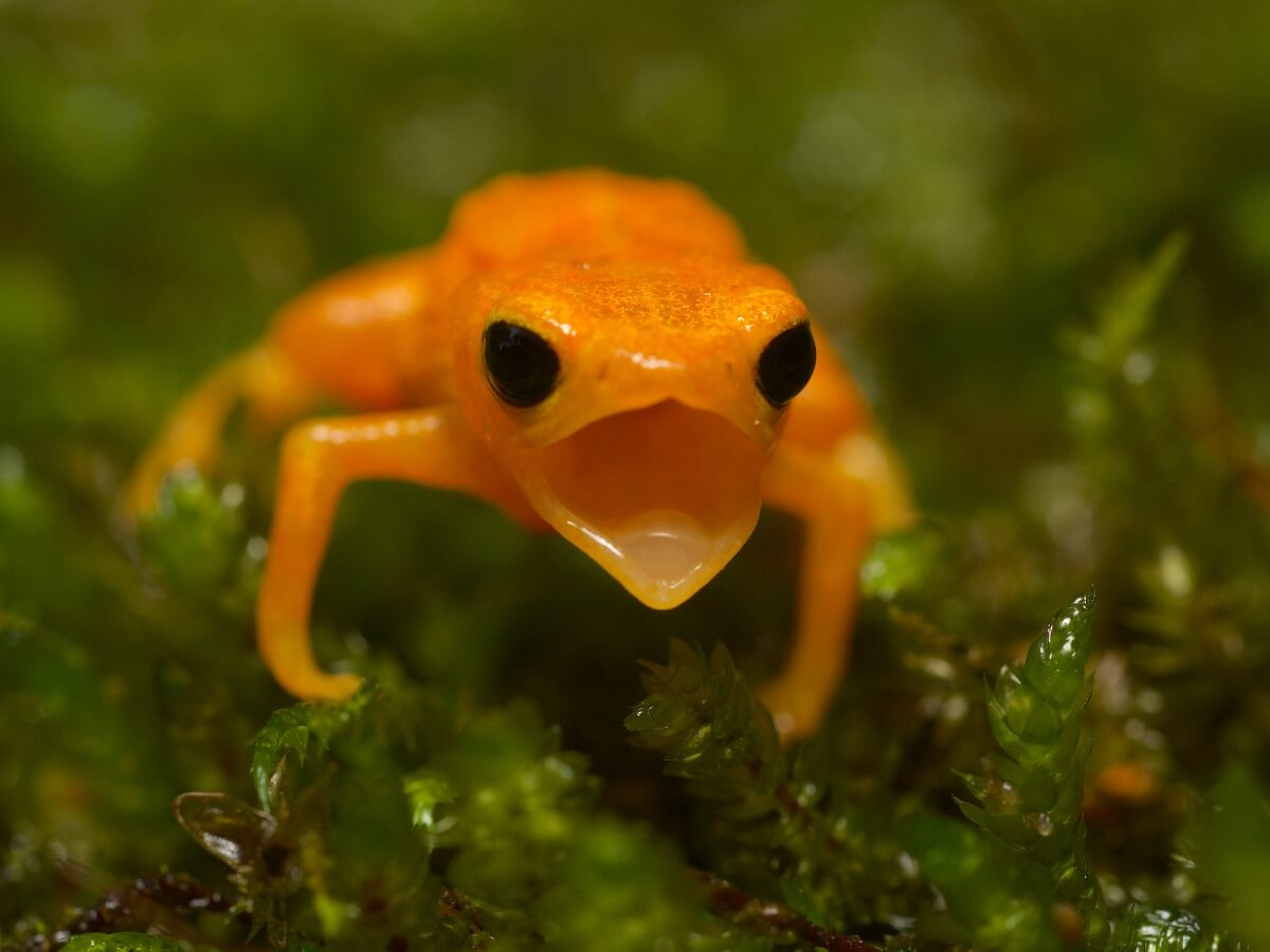 A pumpkin toadlet opens its mouth.