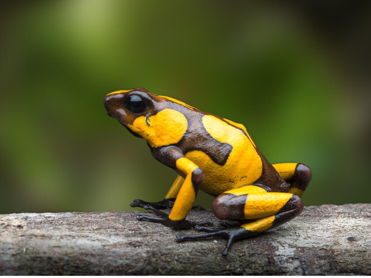 Una de los anfibios en mayor peligro de extinción.