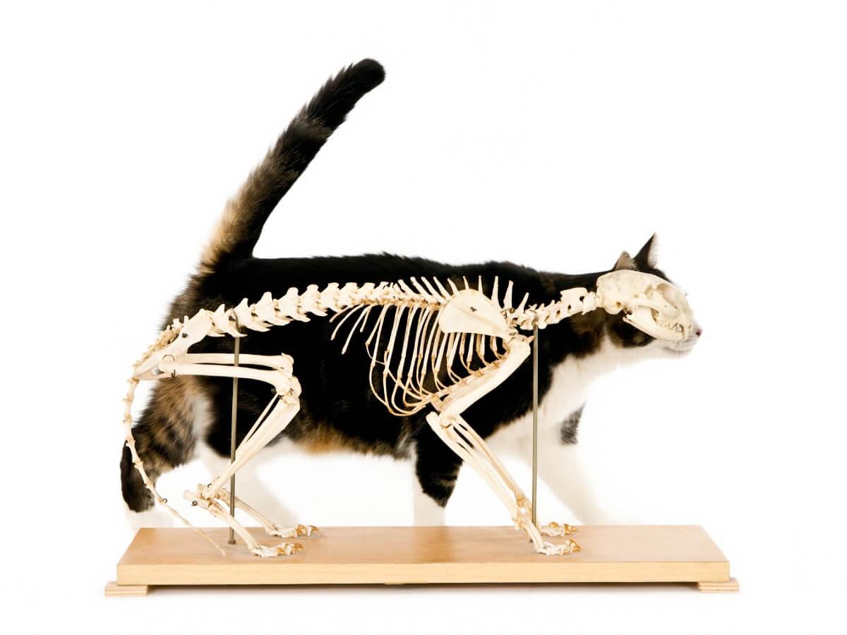 Un ejemplo de raquitismo en gatos.