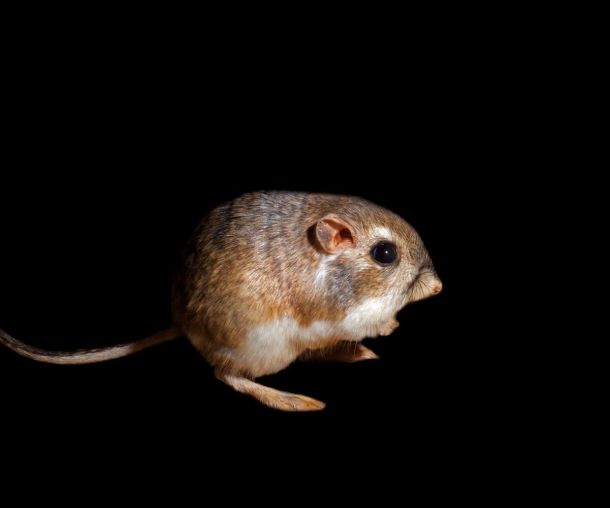 A kangaroo rat of the genus Dipodomys.