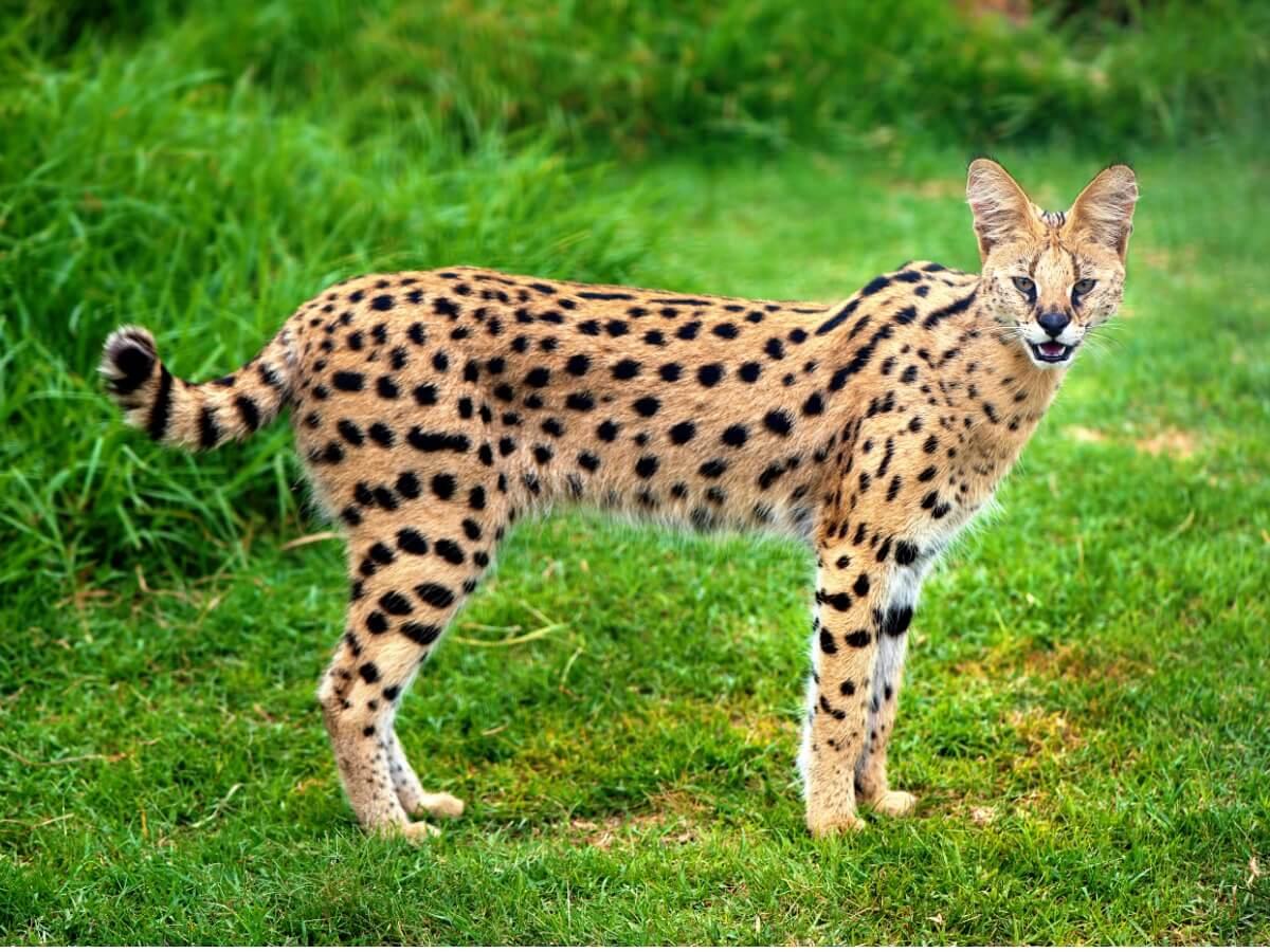 Le serval est l'un des types de félins.
