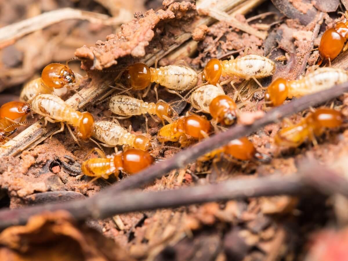 Uno degli insetti che mangiano il legno.