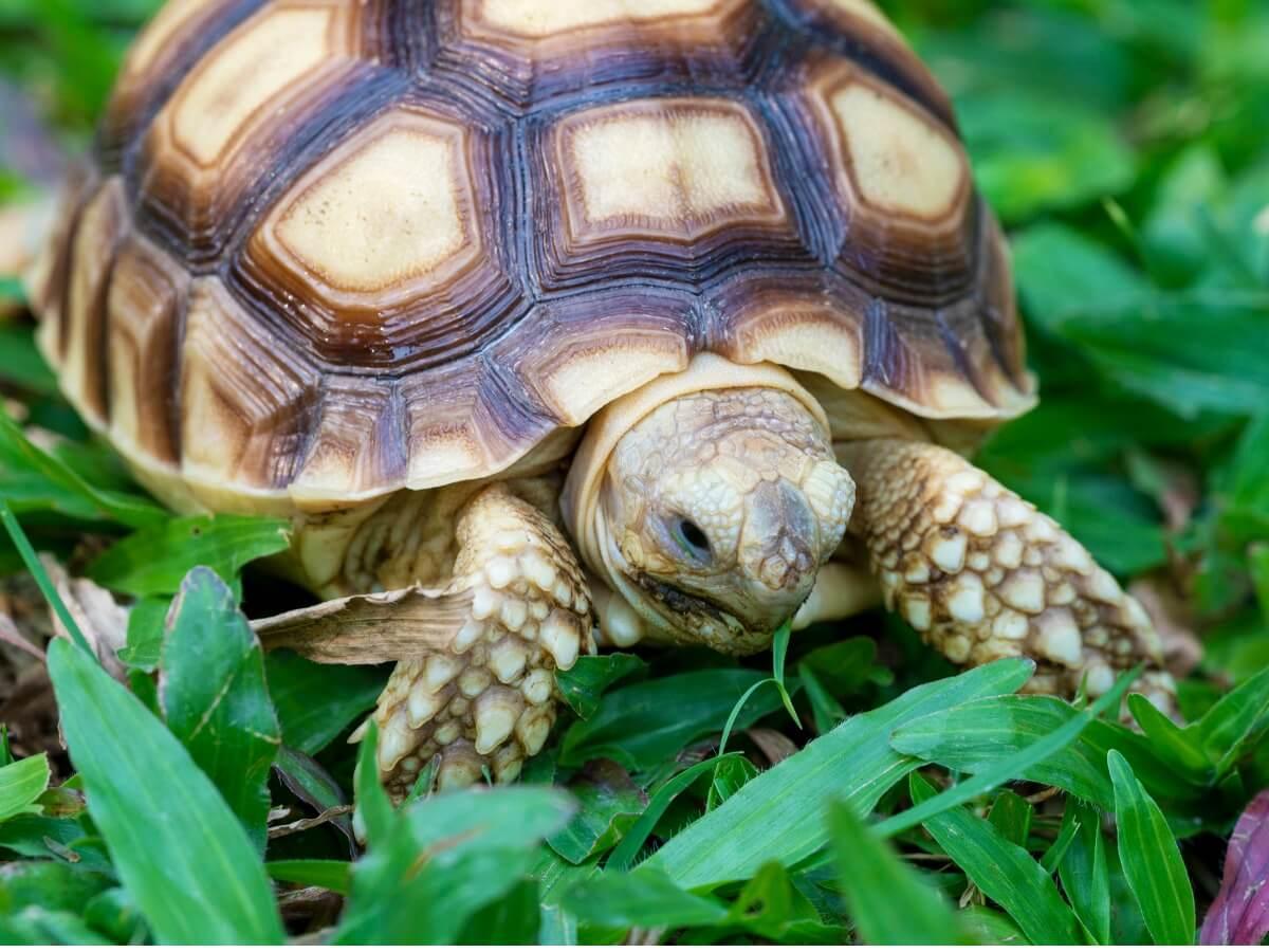 L'un des reptiles en danger d'extinction.