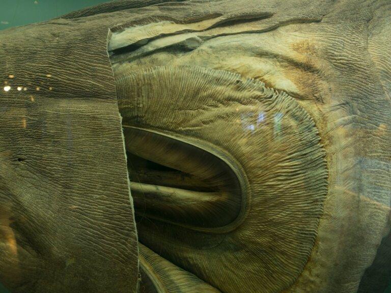 Tiburón boquiancho: hábitat y características