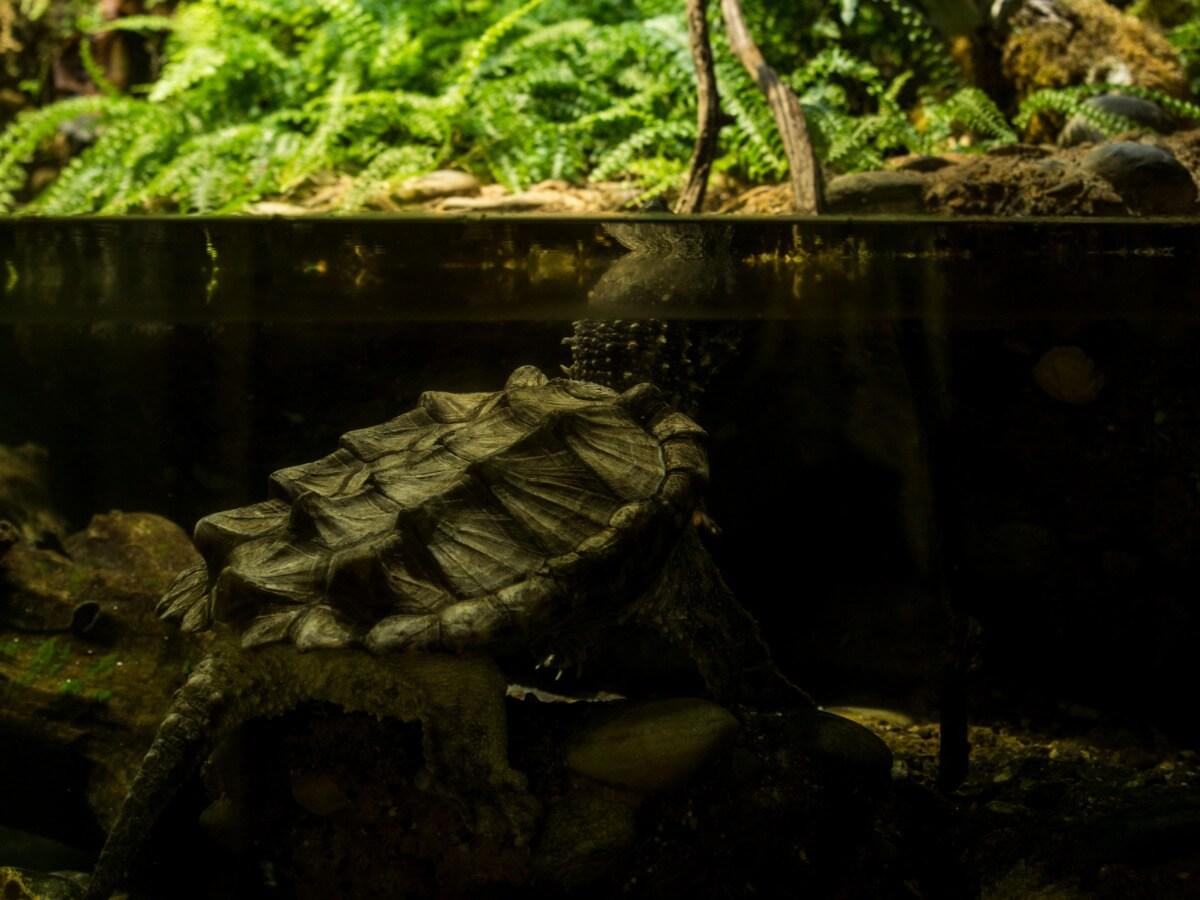 Une tortue alligator dans un aquarium.