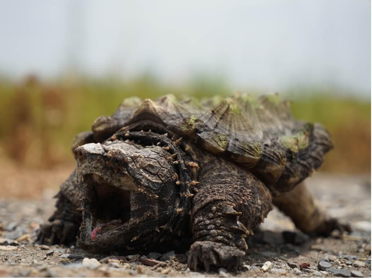 Une tortue alligator avec une bouche ouverte.