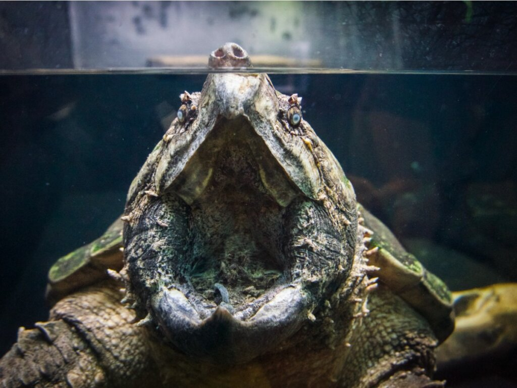 Tortuga aligator: hábitat y características