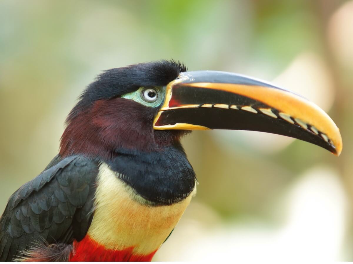 One of a kind of toucans.