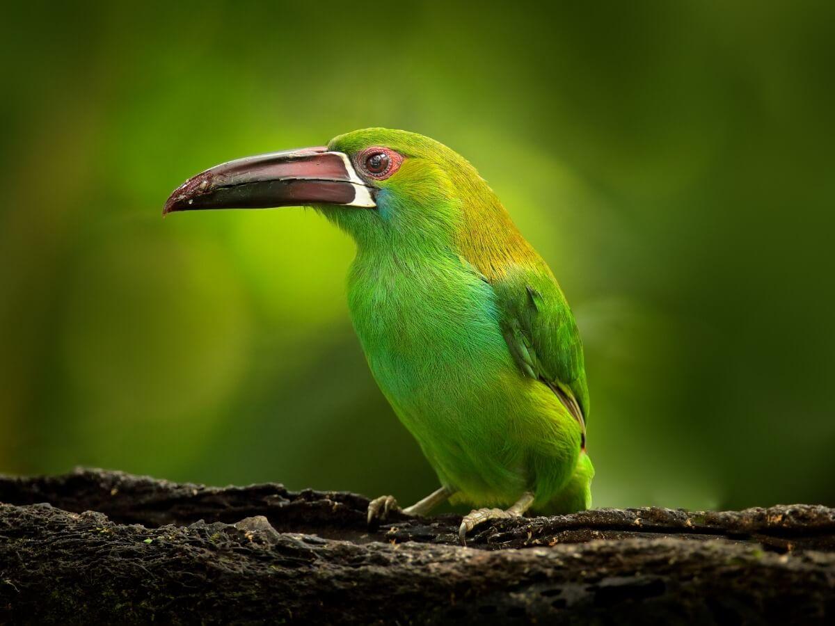 A green toucanet on a branch.