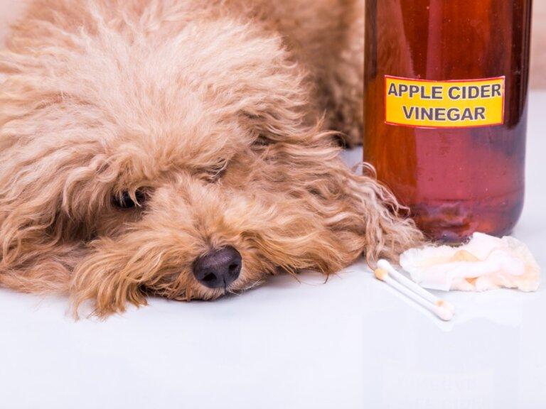 Vinagre de manzana para perros: usos y beneficios