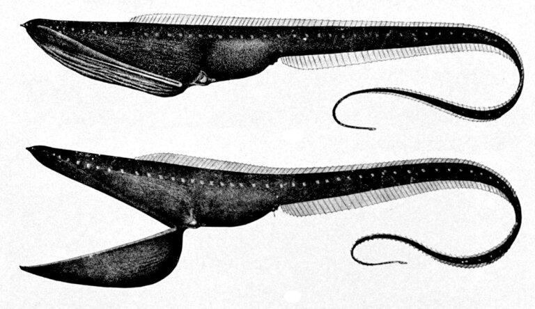 Pez pelícano: hábitat y características