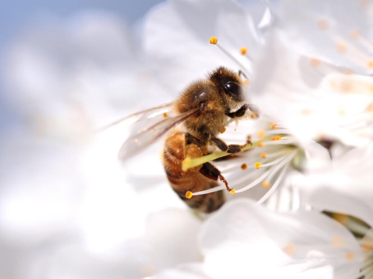 El ciclo vital de las abejas es muy compleja.