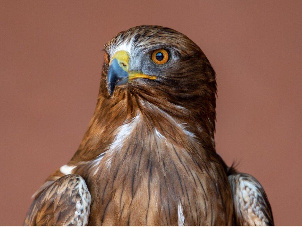 Águila calzada: hábitat y características