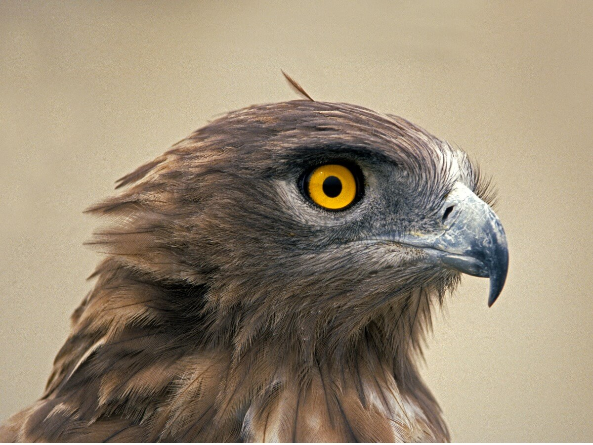 La cabeza y los ojos de una águila culebrera.
