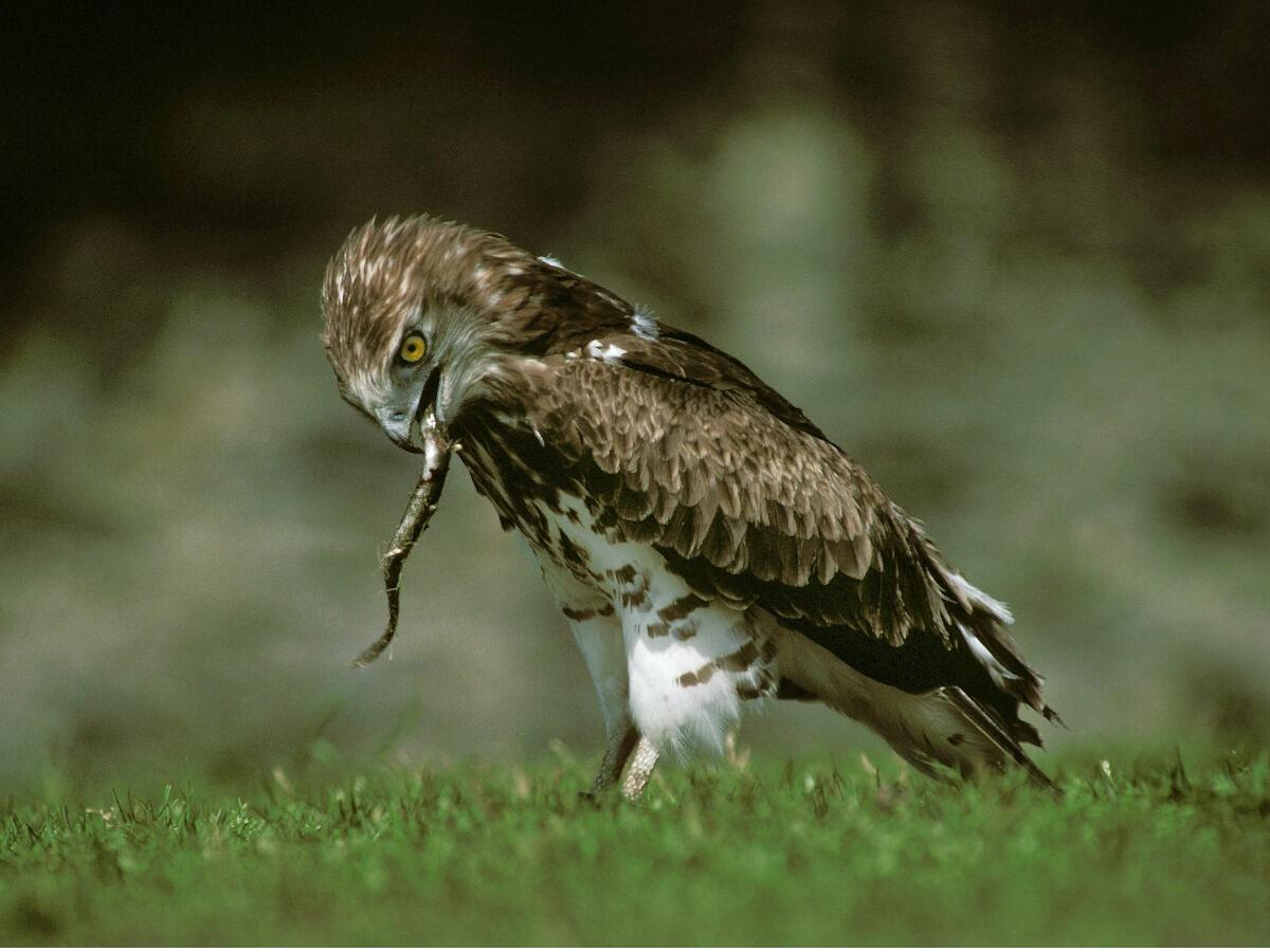 Águila culebrera: hábitat y características