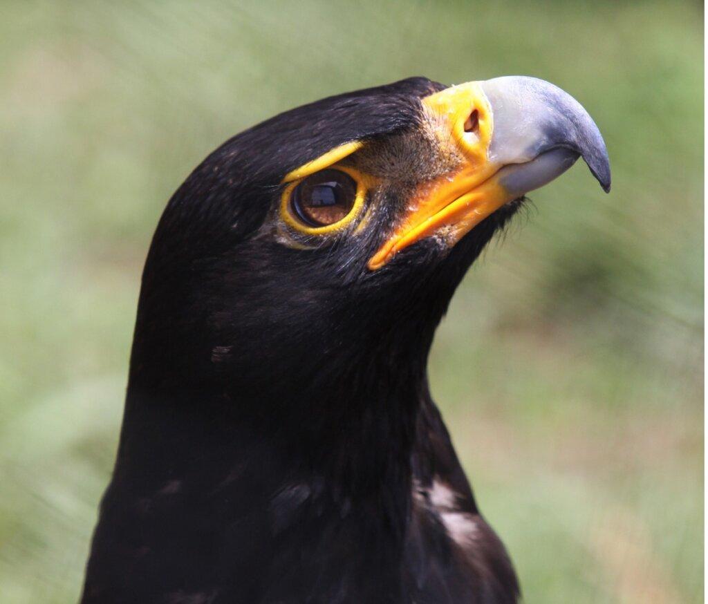 Águila negra: hábitat y características