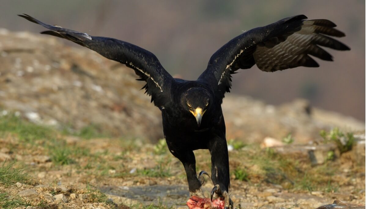 Una águila negra cazando.