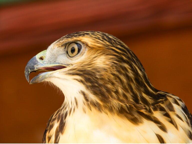 Águila perdicera: hábitat y características