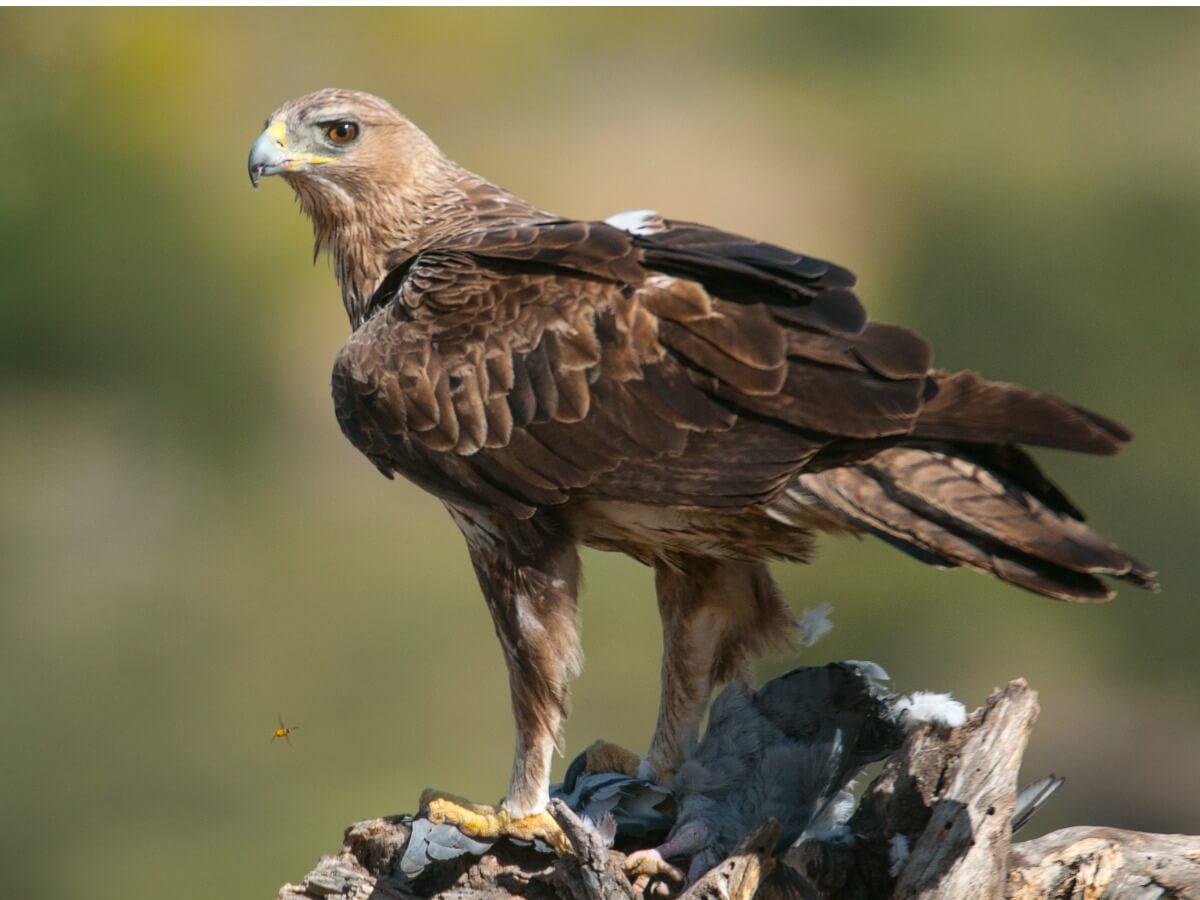 Una águila perdicera sobre una rama.