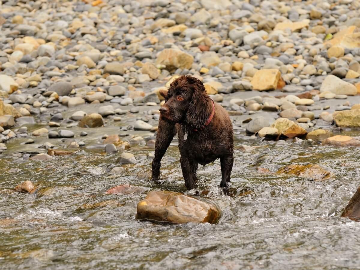 Un boykin spaniel in un fiume.