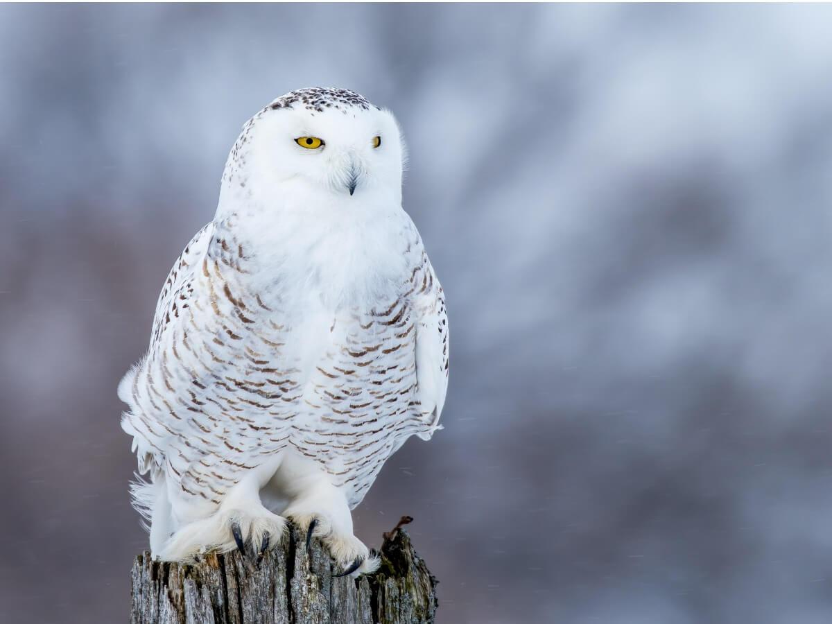 Uma coruja de neve com penas brancas.
