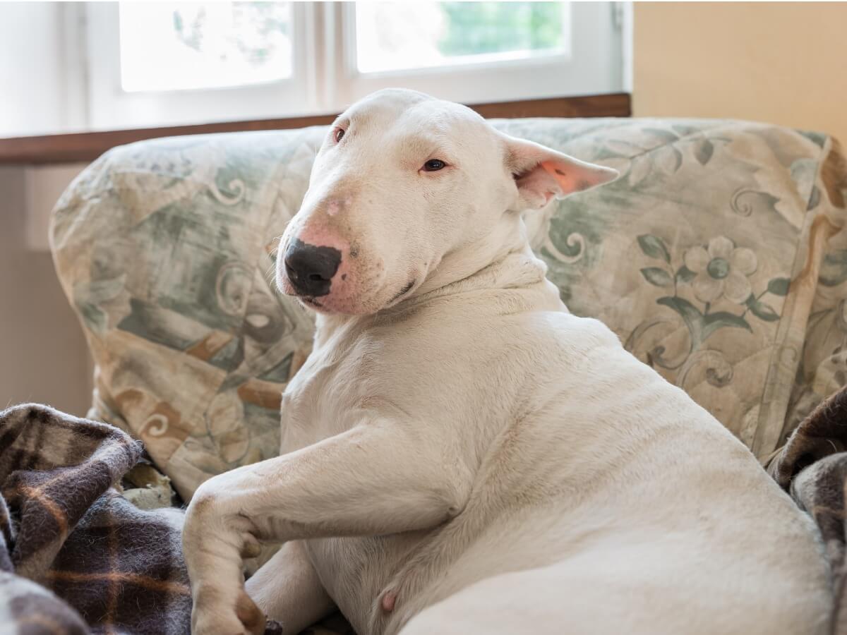 Un bull terrier en un sofá.