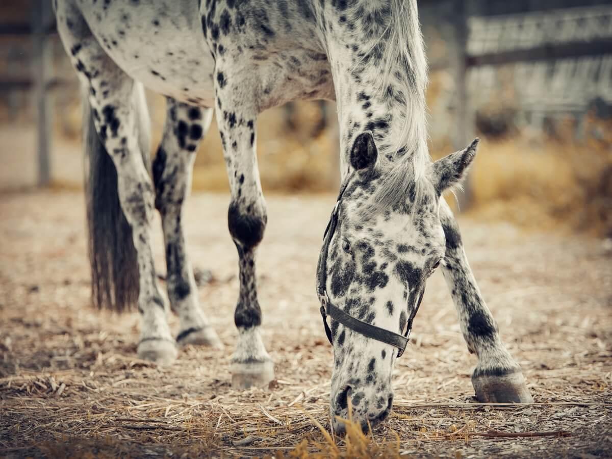Un cheval appaloosa mangeant sur le sol.