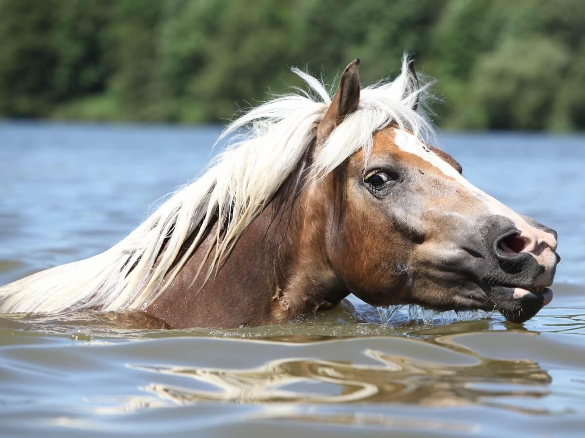 Un cheval nageant dans l'eau douce.