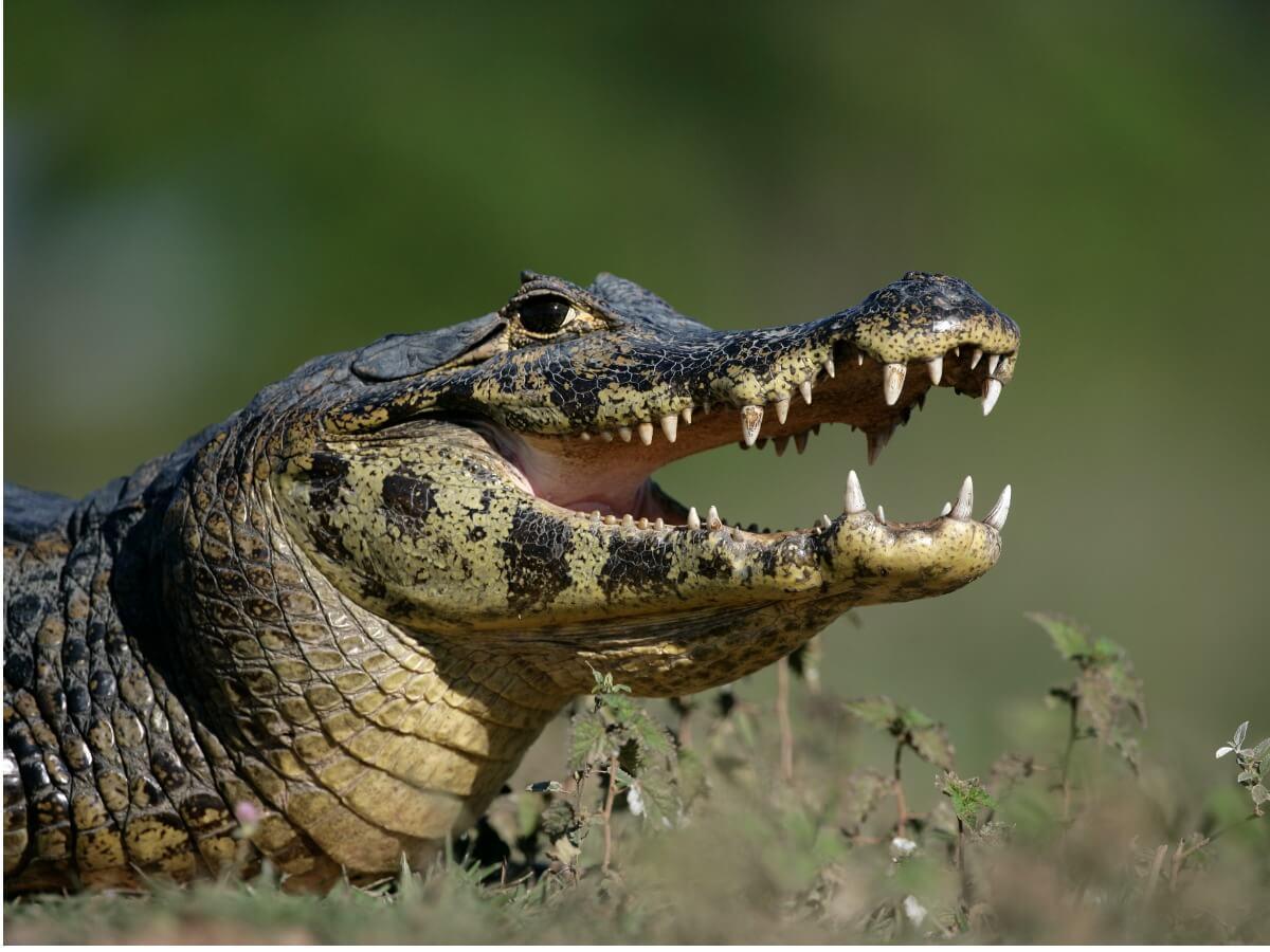 Caimán de anteojos: hábitat y características