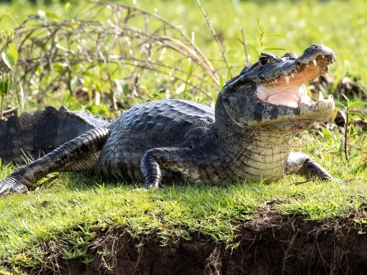 Un caimán de anteojos fuera del agua.