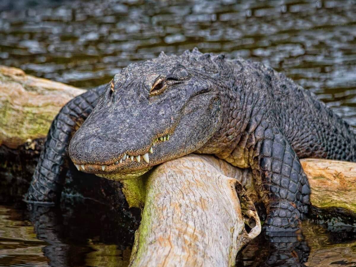 Ein Alligator.