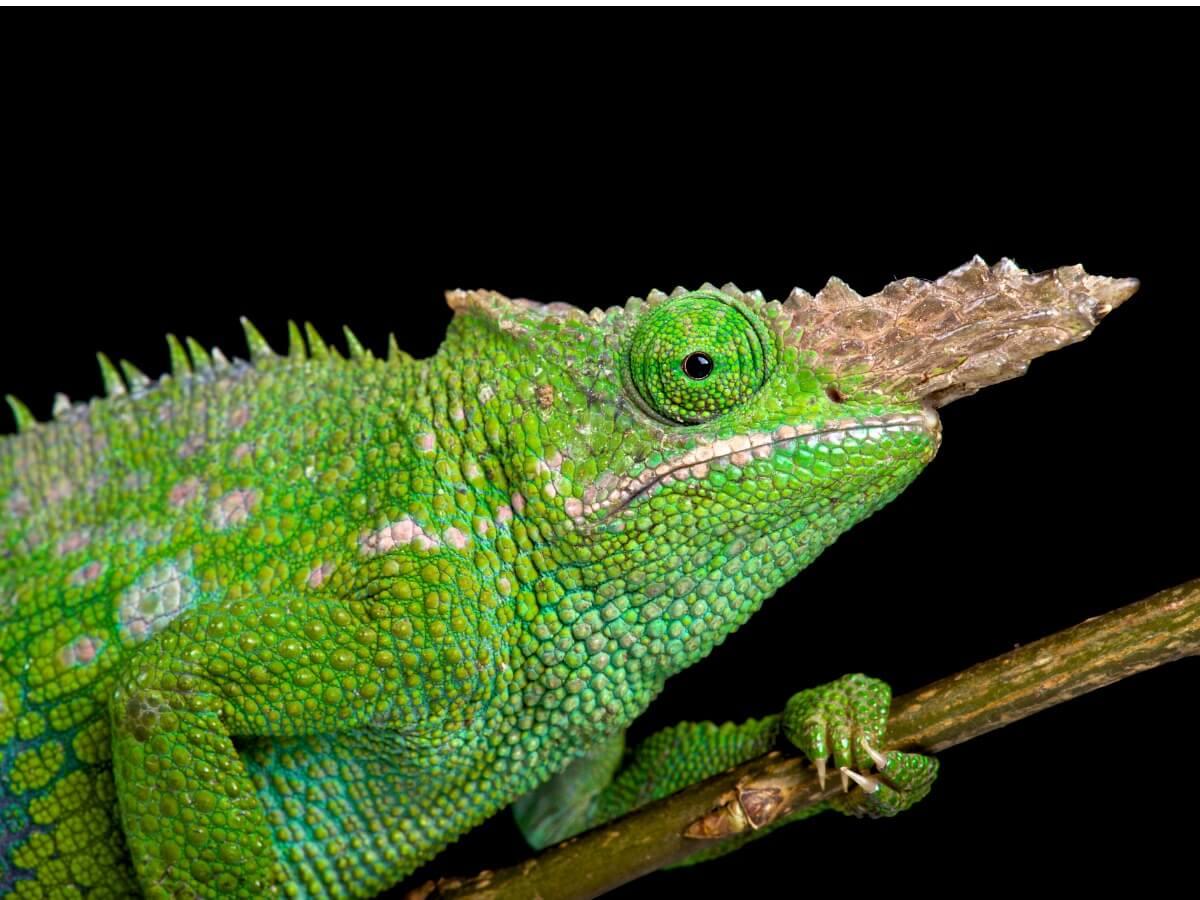 Una de las especies de camaleón.